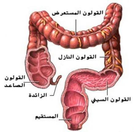 شكل القولون داخل جسم الانسان