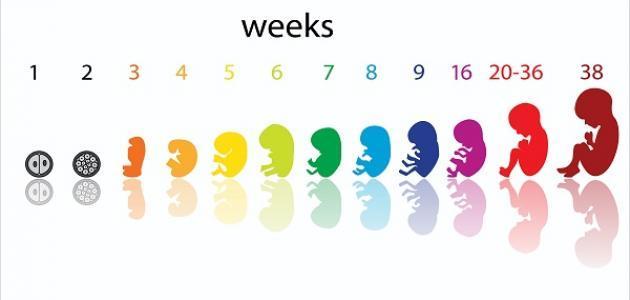 حساب الحمل بالاسابيع مهم لتحديد موعد الولادة